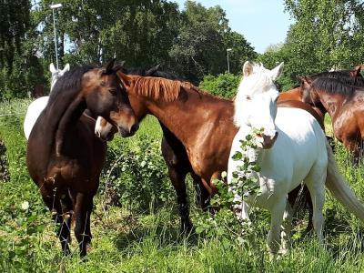 Hästarna på bete
